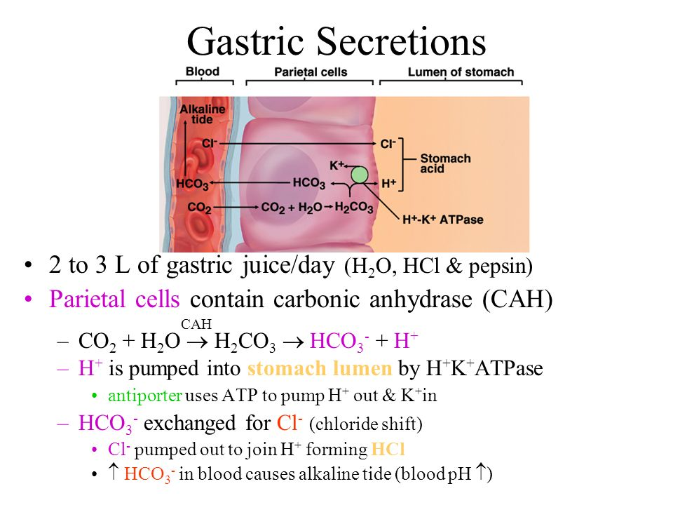 Gastric Secretions 2 to 3 L of gastric juice/day (H2O, HCl & pepsin)