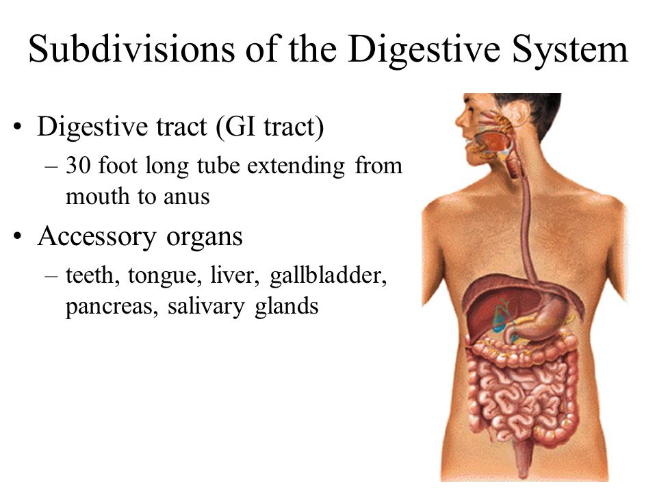 Subdivisions of the Digestive System