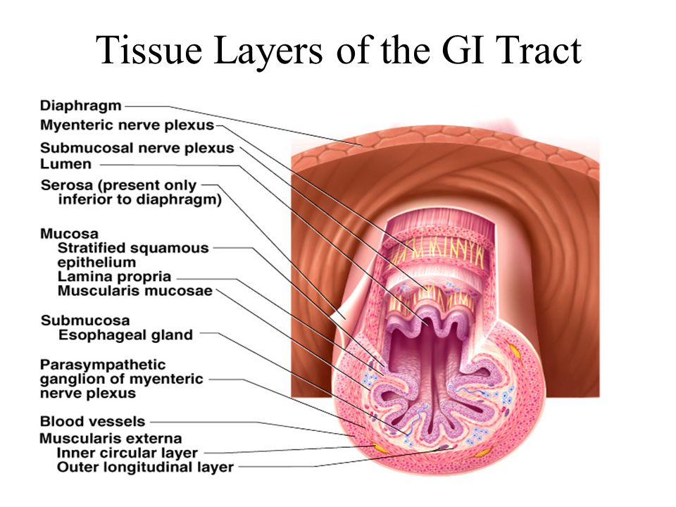 Tissue Layers of the GI Tract