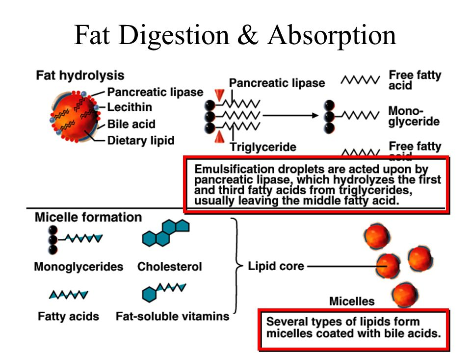 Fat Digestion & Absorption
