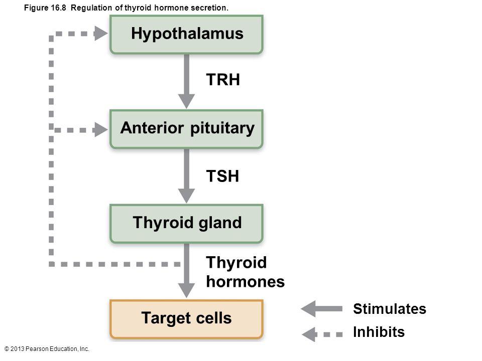 Hypothalamus TRH Anterior pituitary TSH Thyroid gland