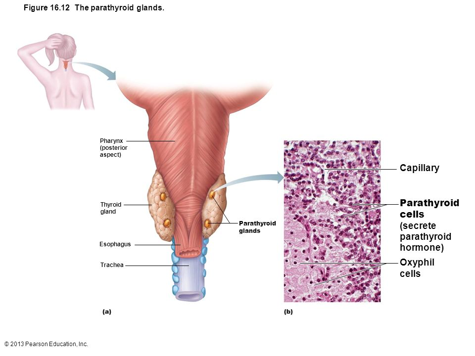 Capillary Parathyroid cells (secrete parathyroid hormone) Oxyphil
