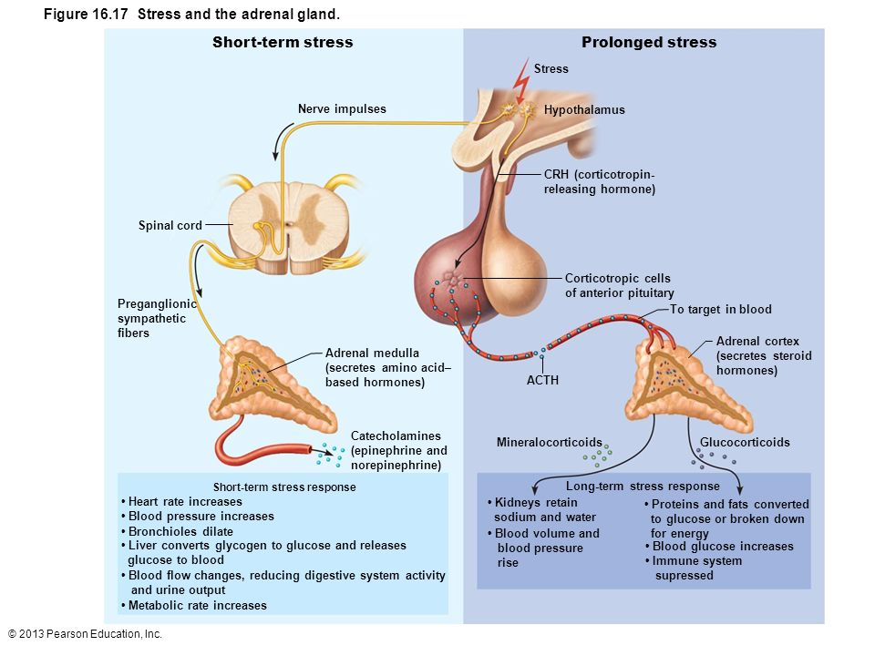 Figure 16.17 Stress and the adrenal gland.