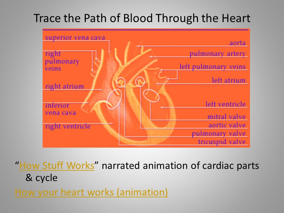 Trace the Path of Blood Through the Heart