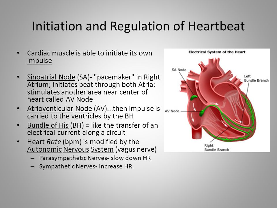 Initiation and Regulation of Heartbeat