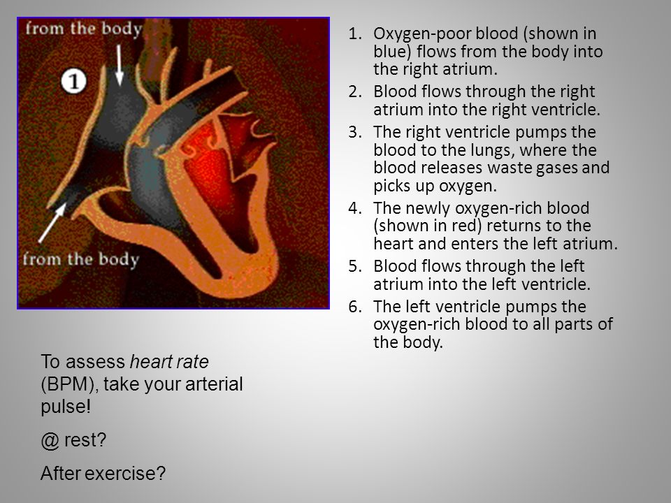 Oxygen-poor blood (shown in blue) flows from the body into the right atrium.