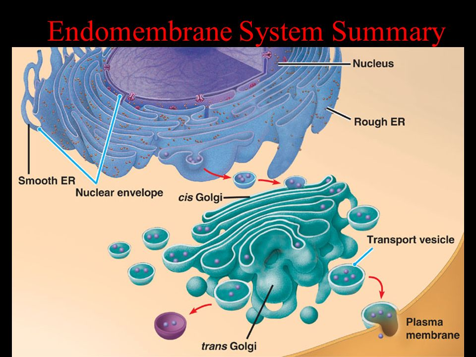 Endomembrane System Summary