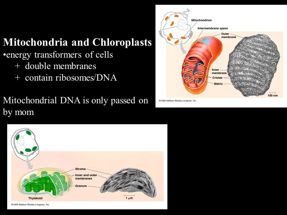 Mitochondria and Chloroplasts