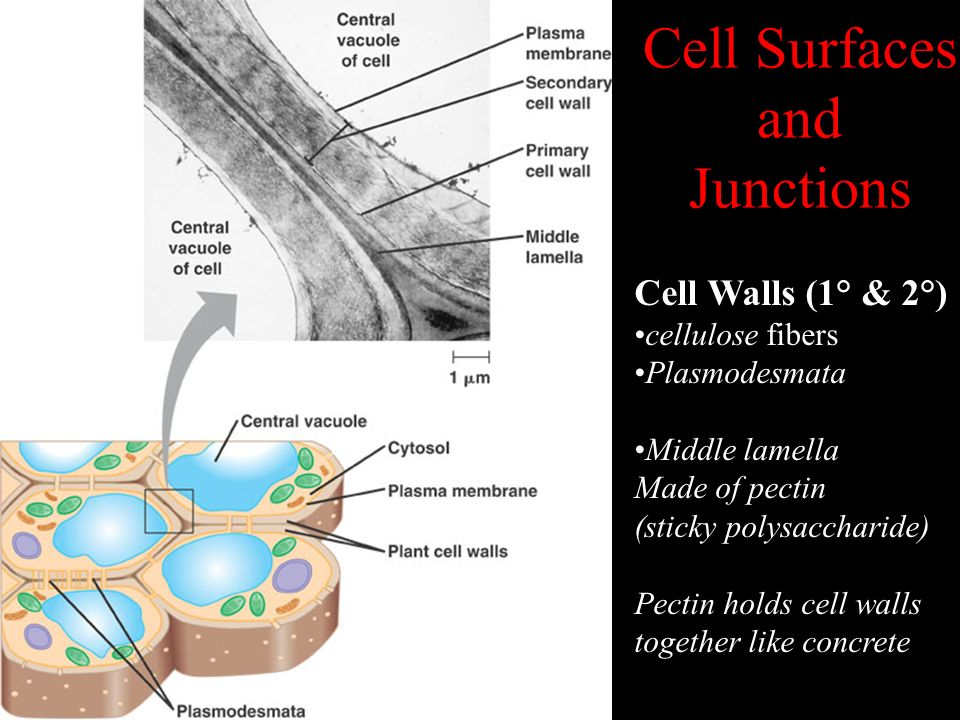 Cell Surfaces and Junctions