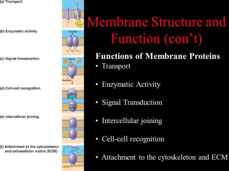 Membrane Structure and Function (con't)