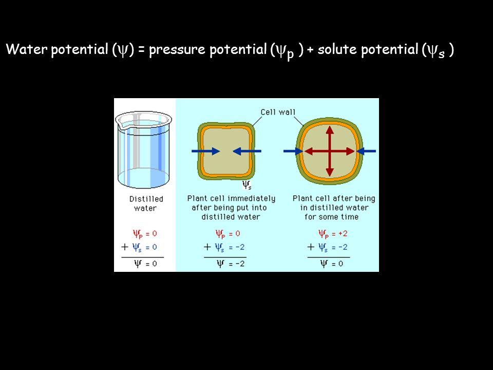 Water potential (ψ) = pressure potential (ψp ) + solute potential (ψs )