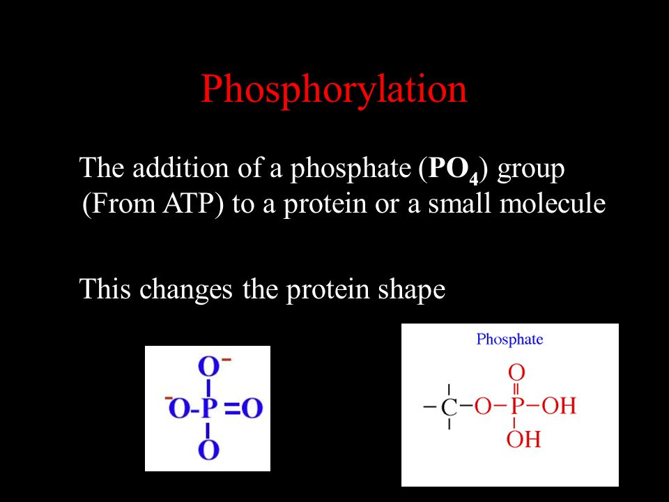 Phosphorylation The addition of a phosphate (PO4) group (From ATP) to a protein or a small molecule.
