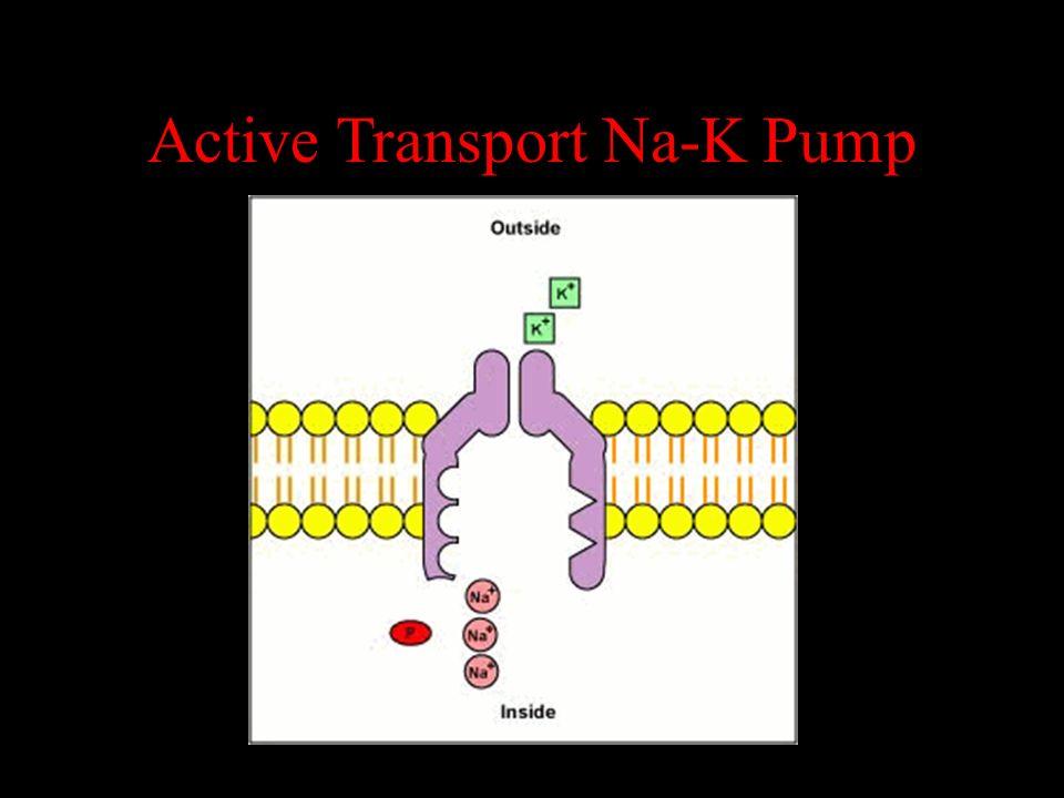 Active Transport Na-K Pump