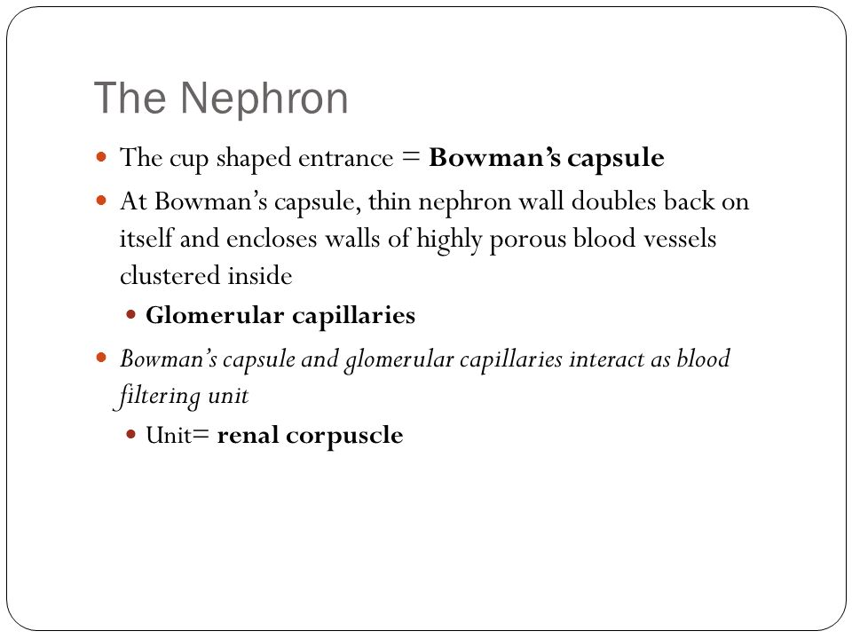 The Nephron The cup shaped entrance = Bowman's capsule