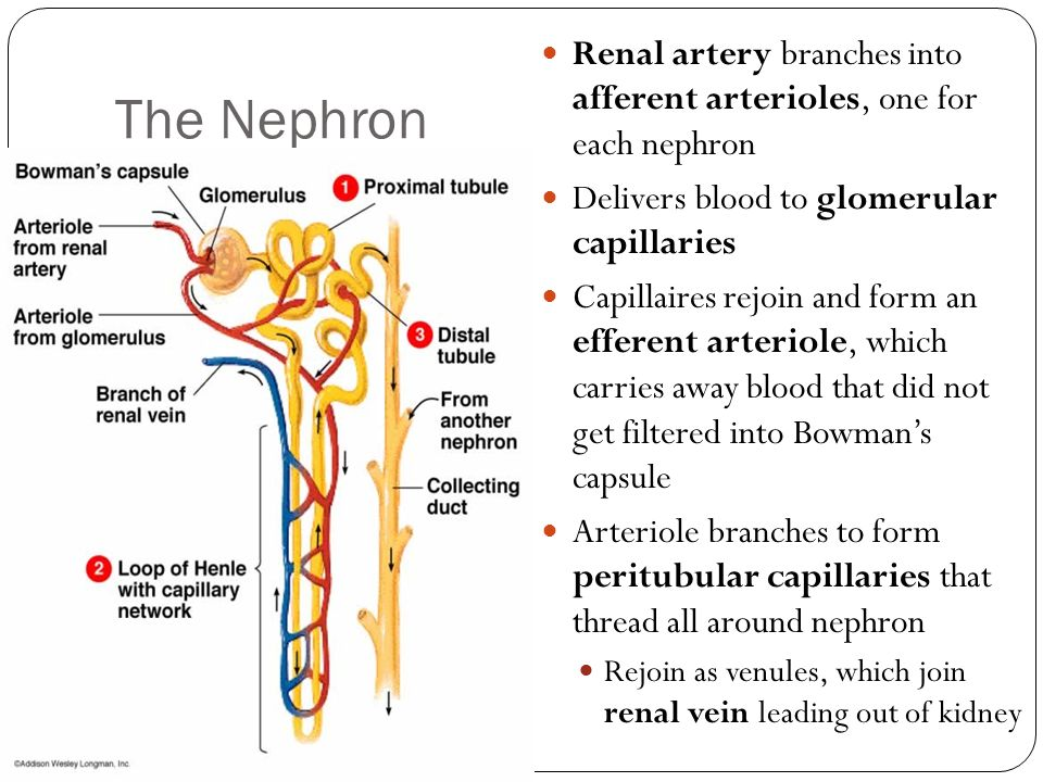 The Nephron Renal artery branches into afferent arterioles, one for each nephron. Delivers blood to glomerular capillaries.
