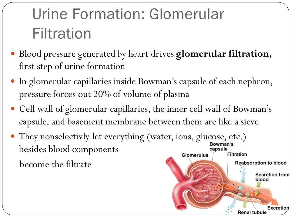 Urine Formation: Glomerular Filtration