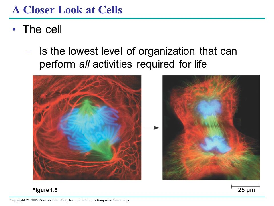 A Closer Look at Cells The cell