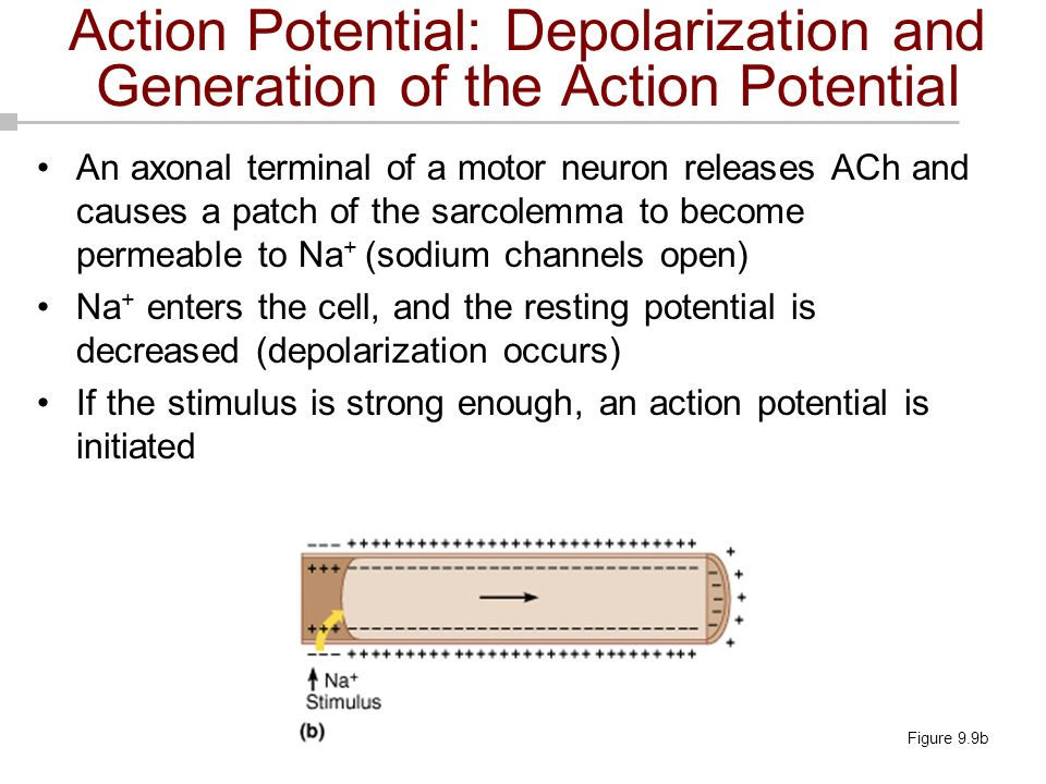 Action Potential: Depolarization and Generation of the Action Potential