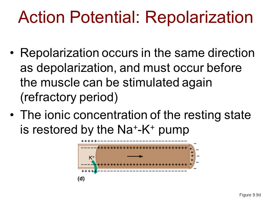 Action Potential: Repolarization
