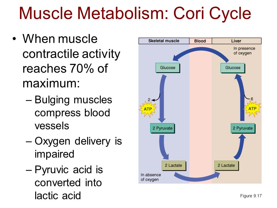 Muscle Metabolism: Cori Cycle