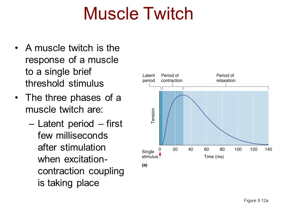 Muscle Twitch A muscle twitch is the response of a muscle to a single brief threshold stimulus. The three phases of a muscle twitch are: