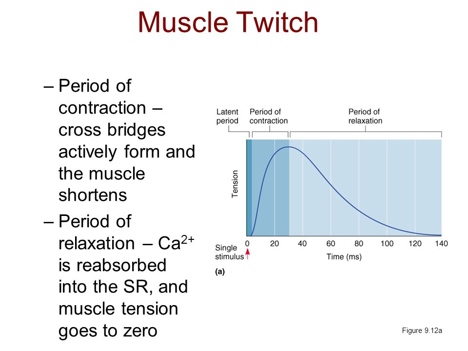 Muscle Twitch Period of contraction – cross bridges actively form and the muscle shortens.