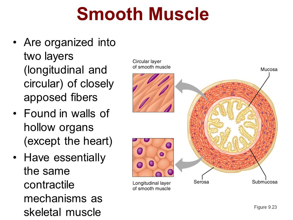 Smooth Muscle Are organized into two layers (longitudinal and circular) of closely apposed fibers.