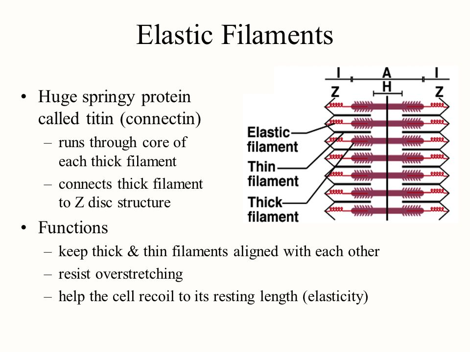 Elastic Filaments Huge springy protein called titin (connectin)