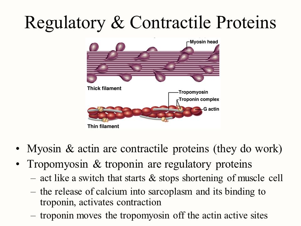 Regulatory & Contractile Proteins