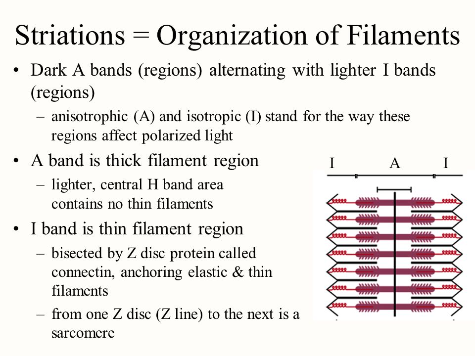 Striations = Organization of Filaments