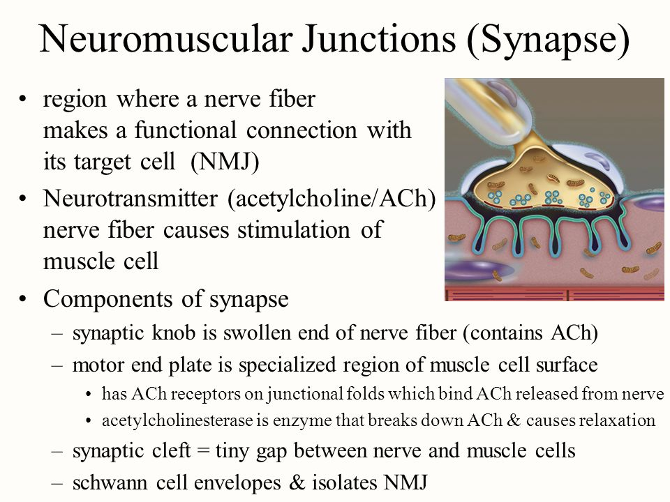 Neuromuscular Junctions (Synapse)