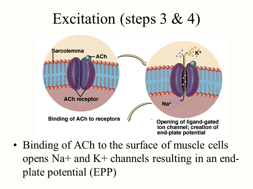 Excitation (steps 3 & 4)Binding of ACh to the surface of muscle cells opens Na+ and K+ channels resulting in an end-plate potential (EPP)