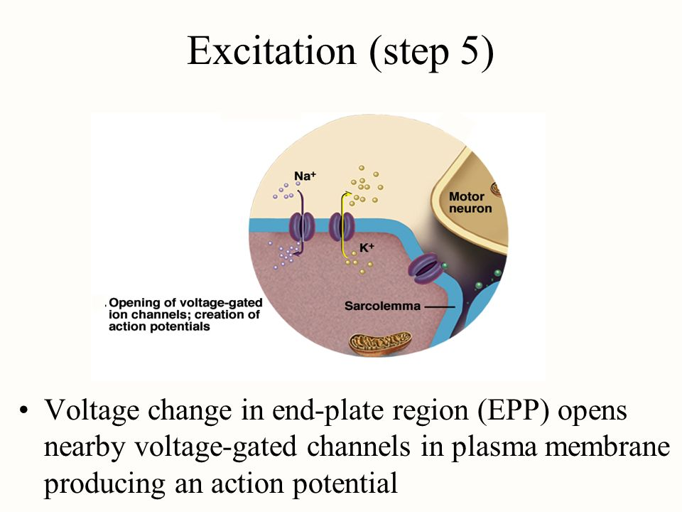 Excitation (step 5) Voltage change in end-plate region (EPP) opens nearby voltage-gated channels in plasma membrane producing an action potential.