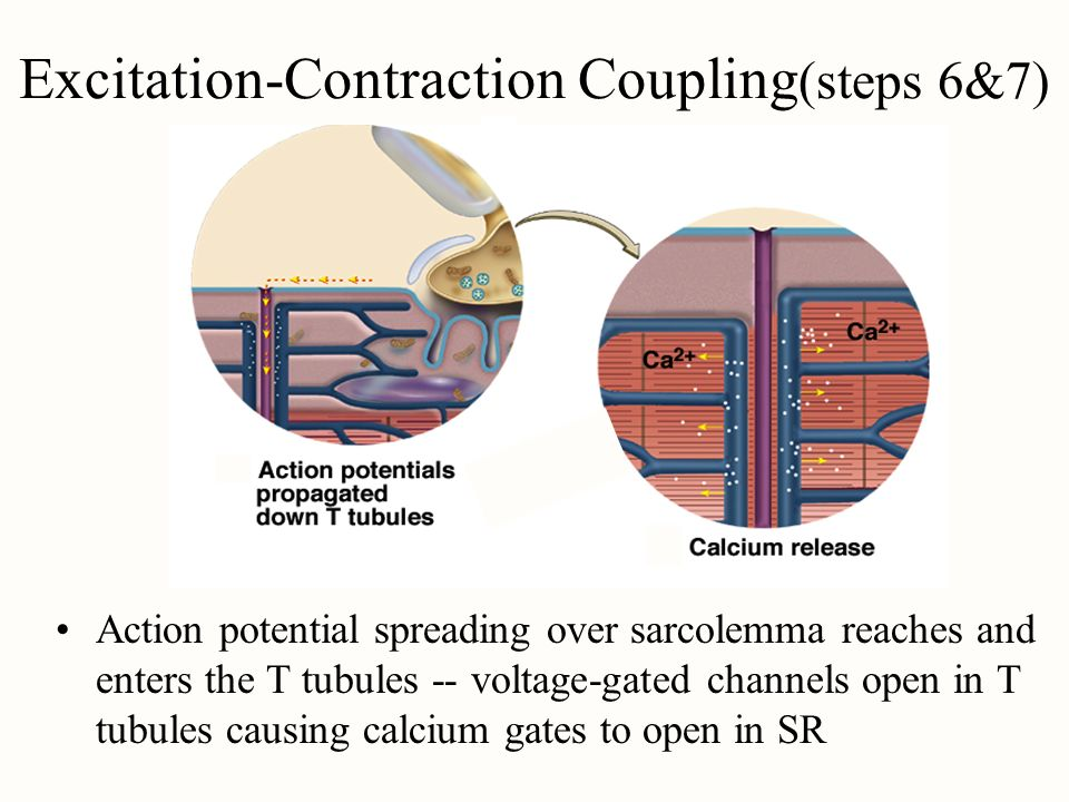 Excitation-Contraction Coupling(steps 6&7)