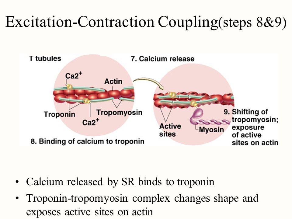 Excitation-Contraction Coupling(steps 8&9)