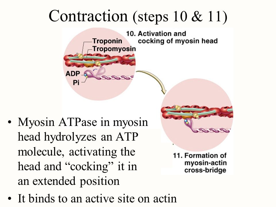 Contraction (steps 10 & 11)Myosin ATPase in myosin head hydrolyzes an ATP molecule, activating the head and cocking it in an extended position.