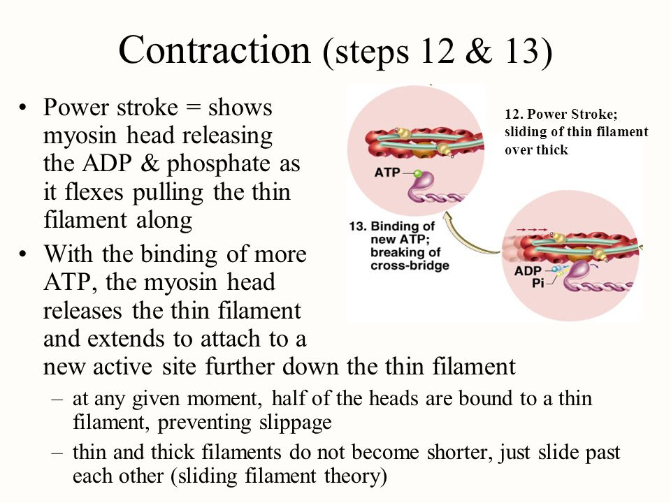 Contraction (steps 12 & 13) Power stroke = shows myosin head releasing the ADP & phosphate as it flexes pulling the thin filament along.