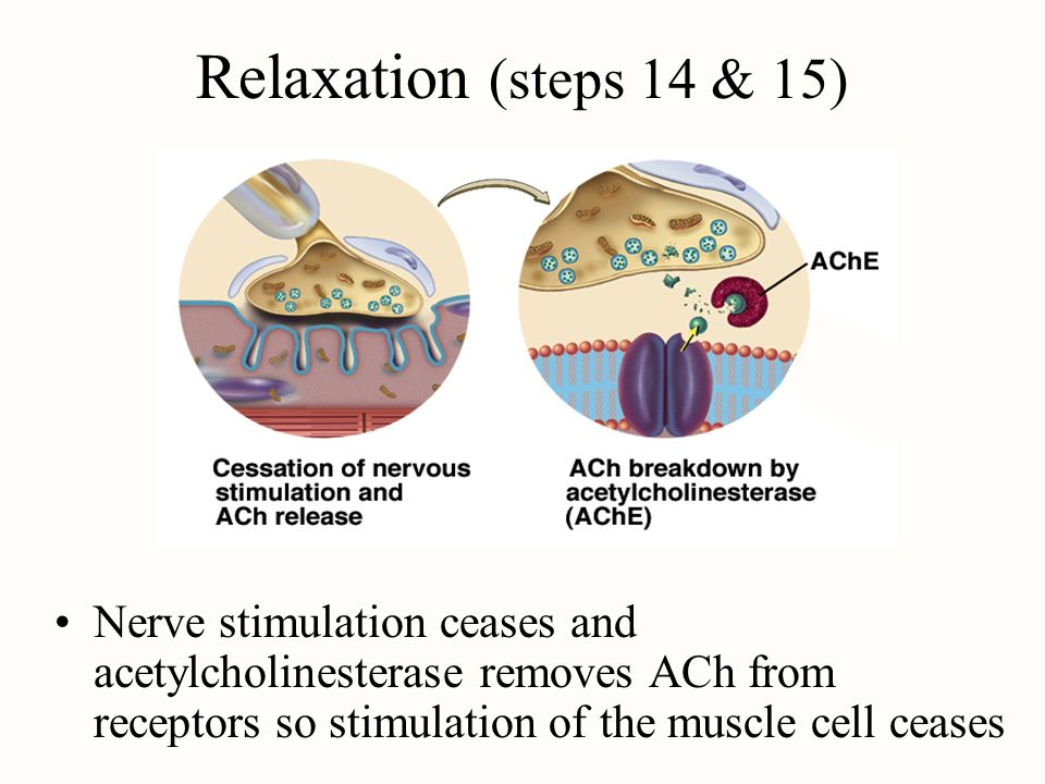 Relaxation (steps 14 & 15)Nerve stimulation ceases and acetylcholinesterase removes ACh from receptors so stimulation of the muscle cell ceases.