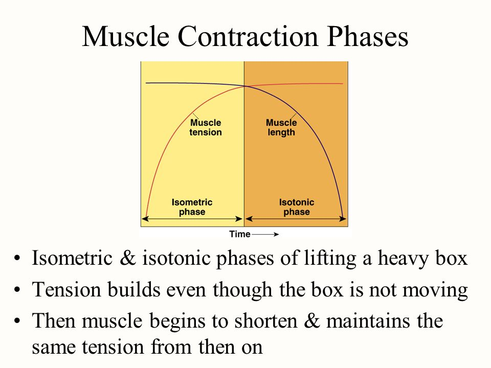 Muscle Contraction Phases