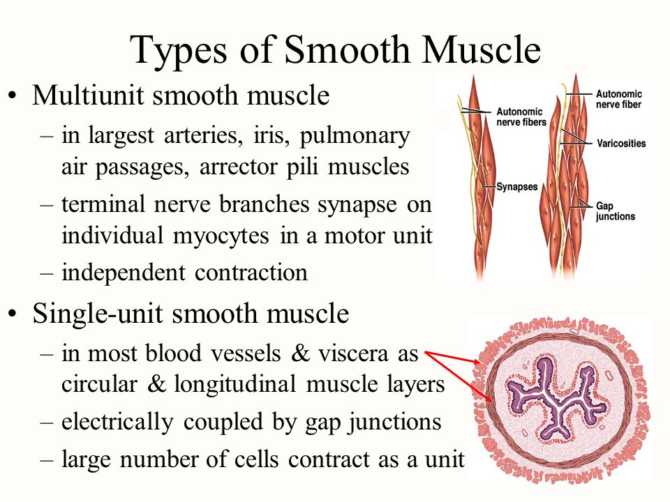Types of Smooth Muscle Multiunit smooth muscle