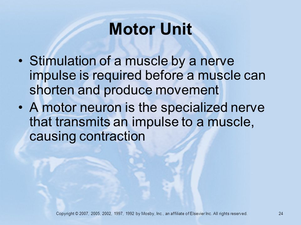 Motor Unit Stimulation of a muscle by a nerve impulse is required before a muscle can shorten and produce movement.
