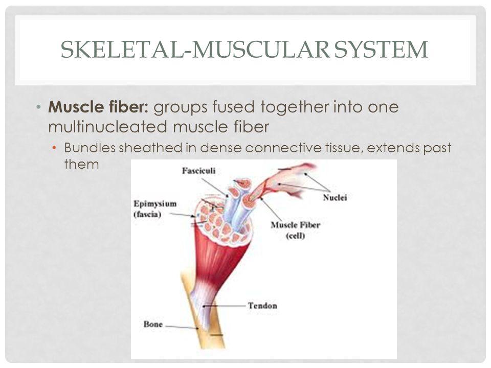 Skeletal-Muscular System