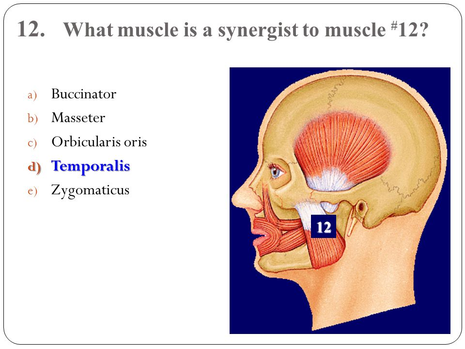 12. What muscle is a synergist to muscle #12