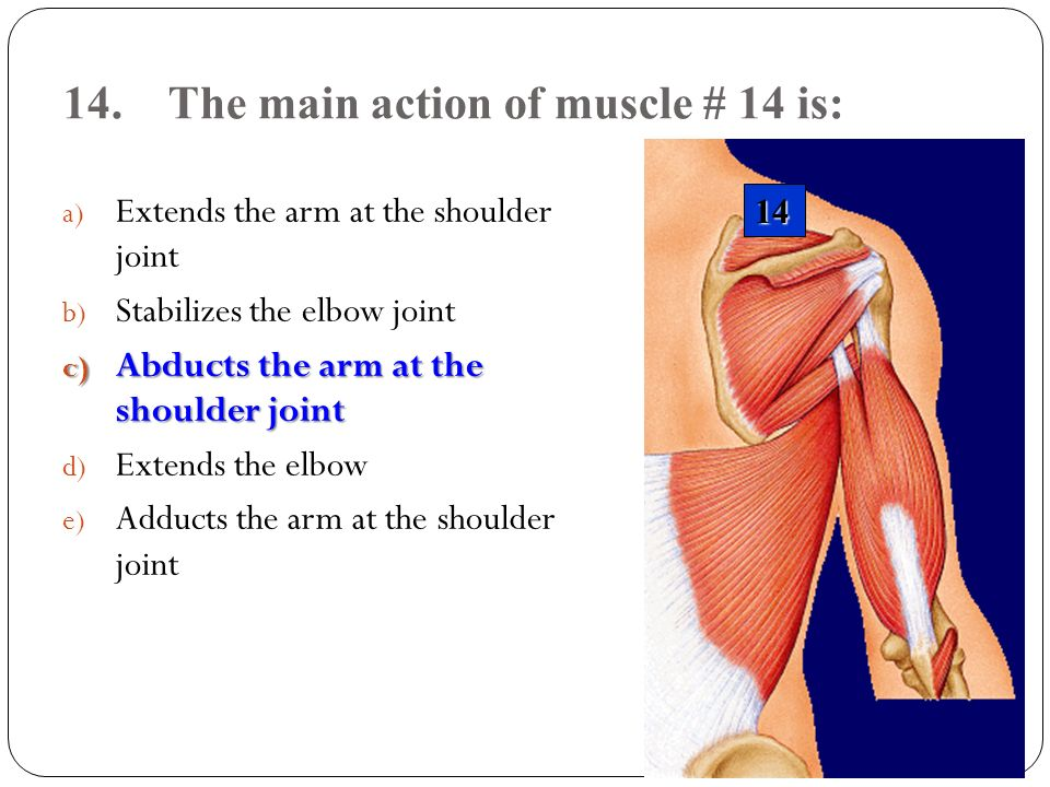 14. The main action of muscle # 14 is: