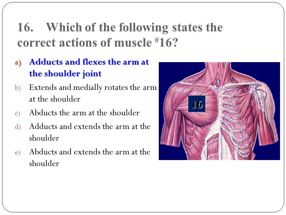 16. Which of the following states the correct actions of muscle #16
