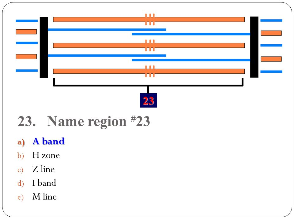 Name region #23 A band H zone Z line I band M line