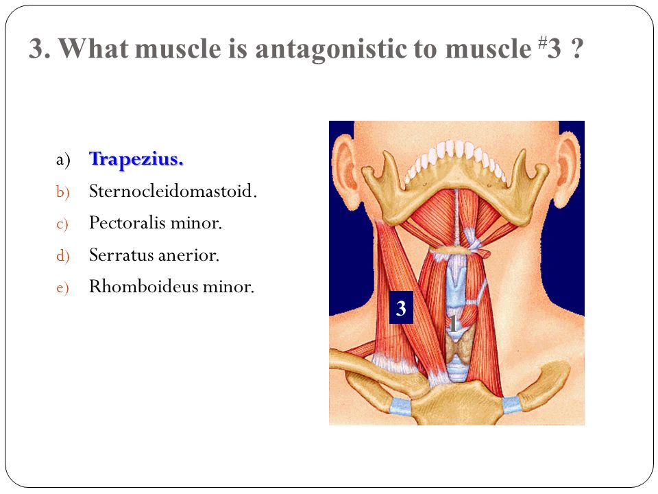 3. What muscle is antagonistic to muscle #3