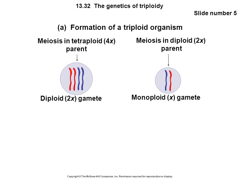 Meiosis in tetraploid (4x)