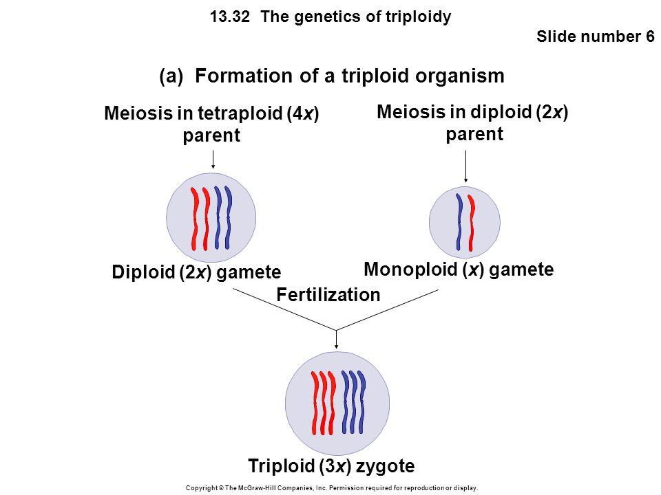 Meiosis in tetraploid (4x)