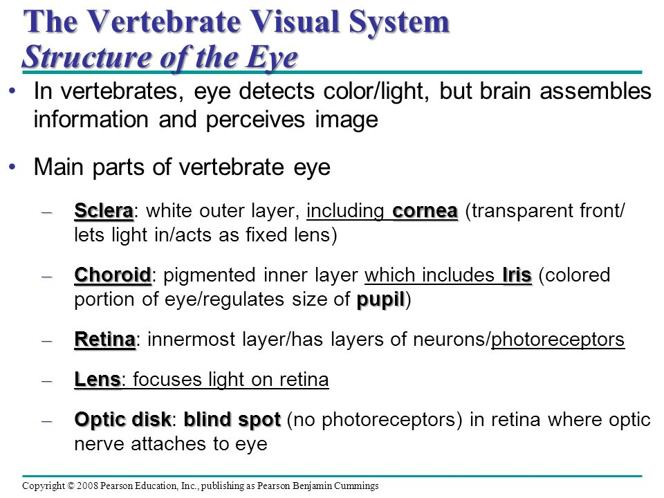 The Vertebrate Visual System Structure of the Eye